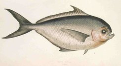 RAY'S BREAM