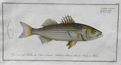 THE STRIPED BASS SCIAENA LINEATA