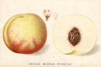 PEACH GROSSE MIGNON