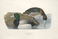 DUCKS GREATER SCAUP NYROCA MARILA